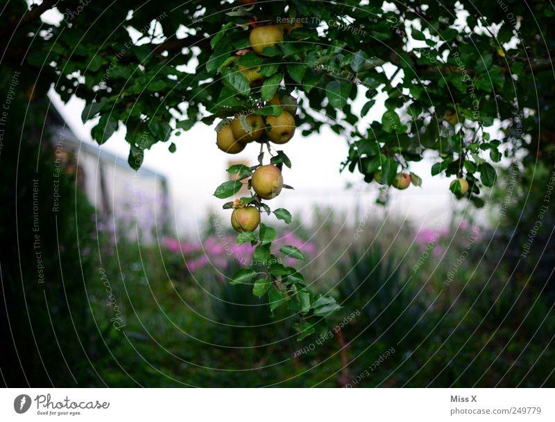 Im dunklen Wald Lebensmittel Frucht Apfel Ernährung Bioprodukte Baum Garten hängen lecker rund saftig sauer süß Apfelbaum Baumstamm Ast Zweig Zweige u. Äste