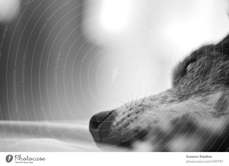 dreaming of Leckerliland Tier Haustier Hund liegen träumen Bett Hundeschnauze Hundekorb Hundekopf Pfote faulenzen grau alt Schwäche Schwarzweißfoto