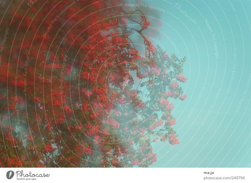 Fototapete Vugelbeerbaam Natur blau grün Baum rot Umwelt Herbst Schönes Wetter Wolkenloser Himmel Vogelbeerbaum