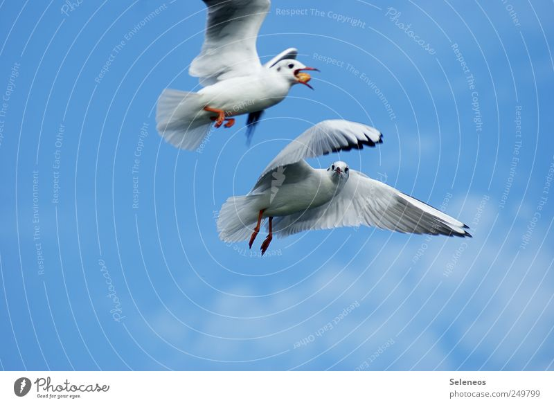 Diebesgut Himmel Natur Tier Umwelt Bewegung Vogel Wildtier Tierpaar paarweise Flügel fangen Möwe Momentaufnahme füttern Futter Vogelflug