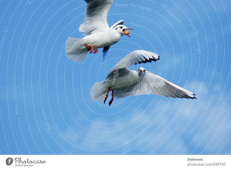 Diebesgut Umwelt Natur Himmel Tier Wildtier Vogel Flügel Möwe Möwenvögel 2 Bewegung fangen füttern Farbfoto Außenaufnahme Tag Tierporträt Tierpaar paarweise