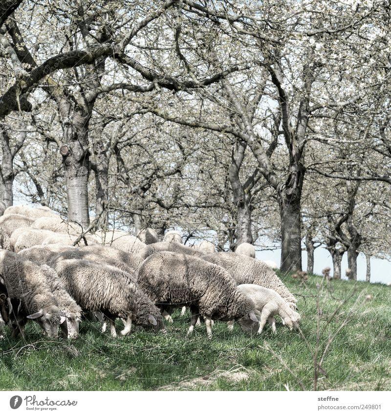Talk is sheep Frühling Baum Wiese Nutztier Schaf Lamm Tiergruppe Fressen Wolle mäh Farbfoto Außenaufnahme Tag Zentralperspektive