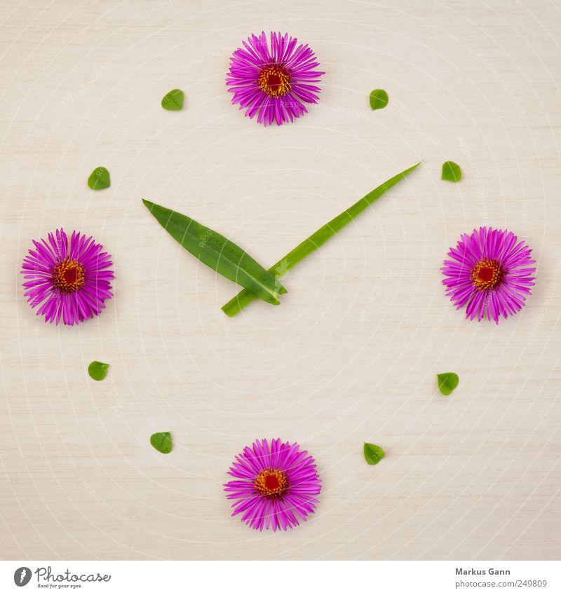 Blumenuhr Design Sommer Natur Pflanze Gras grün rosa planen Symbole & Metaphern Kleeblatt Uhr Zeit Uhrenzeiger Spielen Farbfoto Nahaufnahme