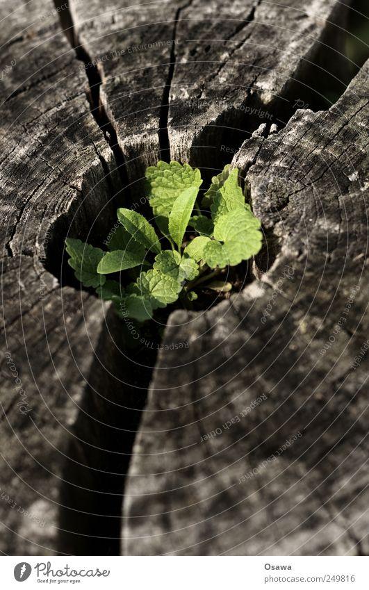 Kreislauf Natur Pflanze Blatt Grünpflanze Wildpflanze Beginn Zufriedenheit Ende Baumstumpf Keim Jahresringe Riss grün Hoffnung Tod verwittert alt frisch