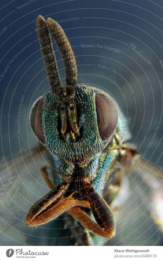Erzwespe ganz groß Umwelt Natur Tier Sommer Totes Tier Wespen 1 ästhetisch exotisch glänzend gruselig blau braun türkis Mikrofotografie Mikroskop Farbfoto
