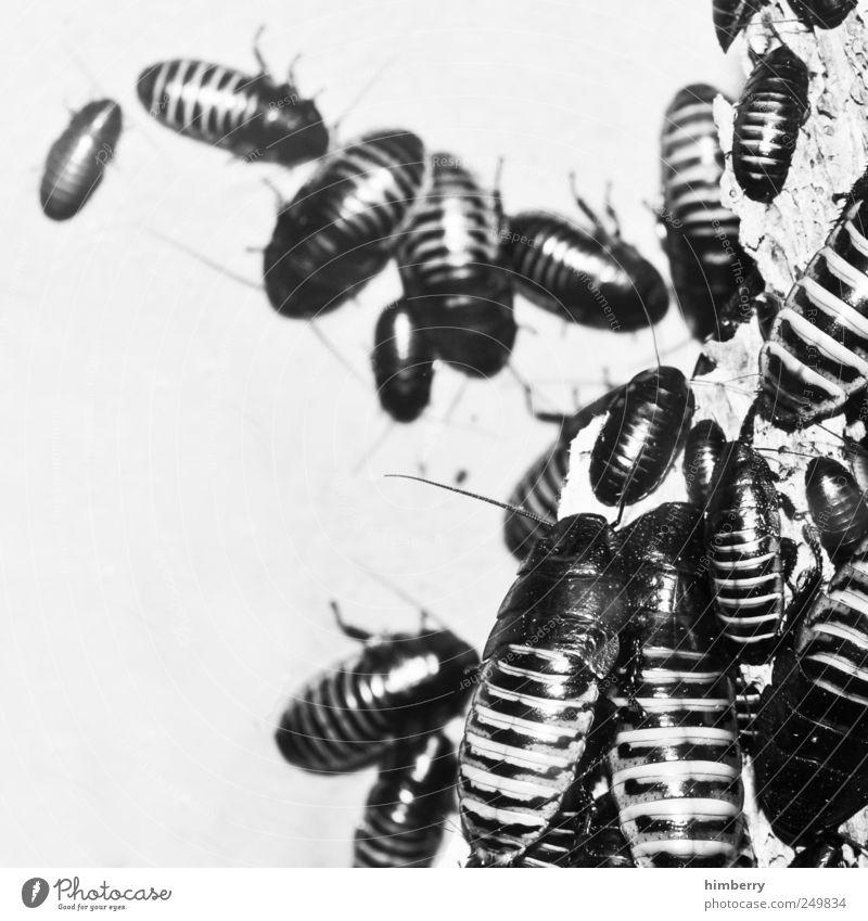 buggy Umwelt Natur Tier Wildtier Käfer Tiergruppe Schaben Insekt Schädlinge Schädlingsbekämpfung Pflanzenschädlinge Schwarzweißfoto Innenaufnahme Studioaufnahme