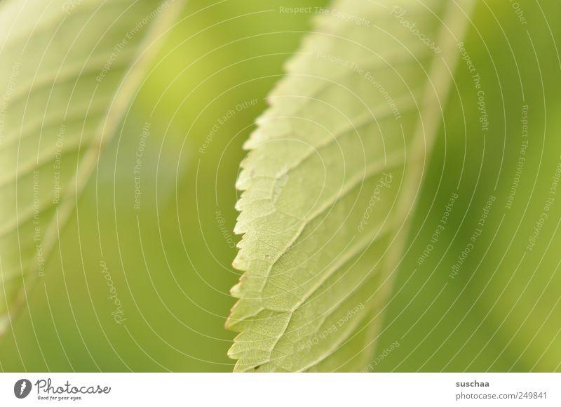 frühling Natur Pflanze Frühling Sommer Klima Blatt frisch grün gezackt Blattadern Pflanzenteile Photosynthese Chlorophyll Blattgrün Farbfoto Außenaufnahme