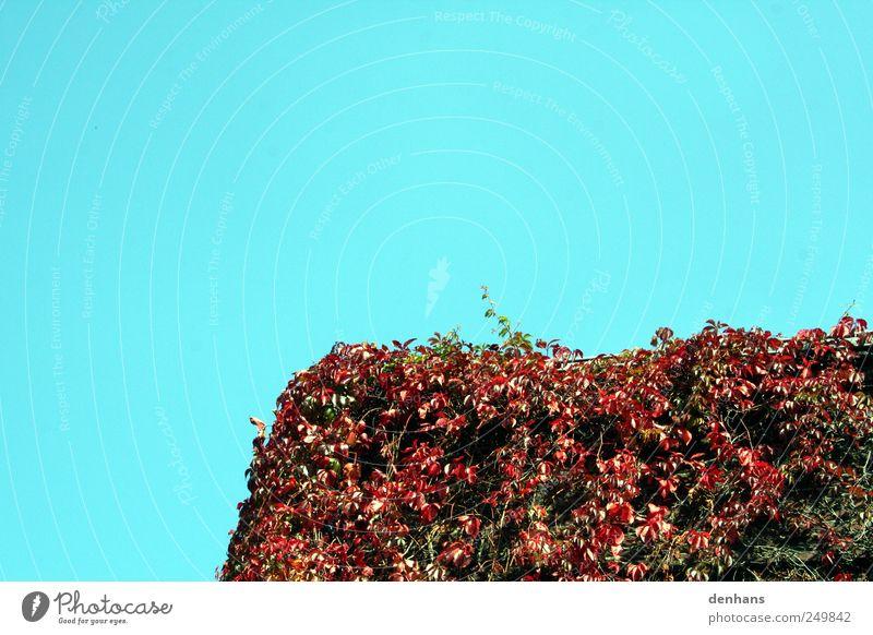 Wilder Wein vor blauem Himmel Natur alt Pflanze rot Blatt ruhig Haus Wand Herbst Umwelt Mauer Gebäude Fassade Wachstum