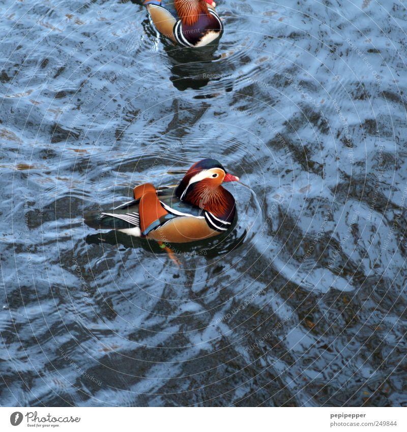 Mandarinente(n) Wasser blau rot Sommer Tier gelb See braun Wellen Schwimmen & Baden Flügel Feder Schönes Wetter Ente Teich Schnabel