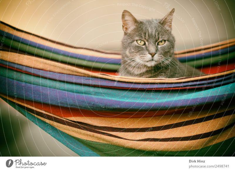 Graue Katze in einer Hängematte Häusliches Leben Garten Bett Tier Haustier Tiergesicht Fell 1 beobachten hängen hocken Blick sitzen warten schön niedlich