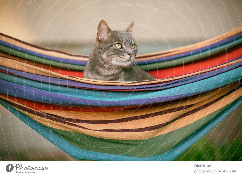 Graue Katze in Hängematte Häusliches Leben Garten Tier Haustier 1 hocken sitzen mehrfarbig grau Idylle Perspektive Schwerpunkt hängend Erholung Blick beobachten