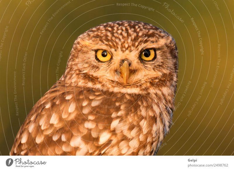 Niedliche Eule schön Natur Tier Wald Vogel Flügel klein lustig natürlich niedlich wild braun gelb gold grün schwarz weiß Tierwelt Waldohreule Beute Raubtier