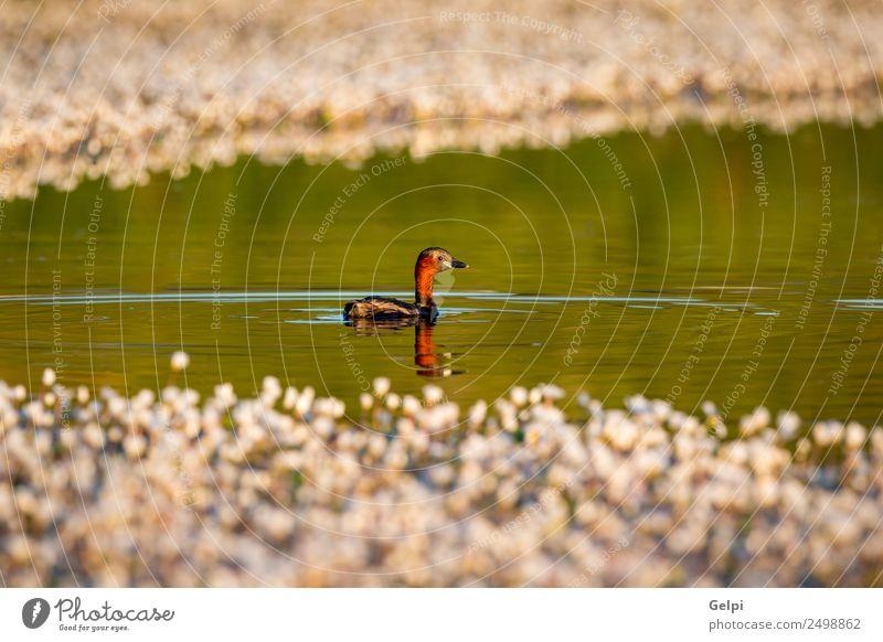 Kleiner Taucher schwingt in einem See schön Leben Schwester Natur Tier Blume Blatt Teich Vogel klein wild blau braun grün rot schwarz weiß Farbe Wasser Tierwelt