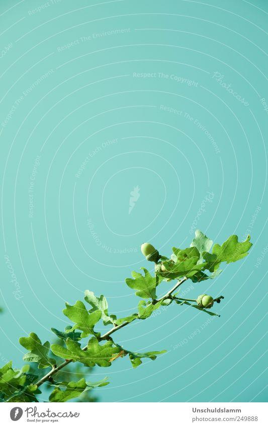 Eiche Aqua Himmel Natur blau grün Sommer Blatt Umwelt Leben oben Frühling Garten hell Park Stimmung Kraft Wachstum
