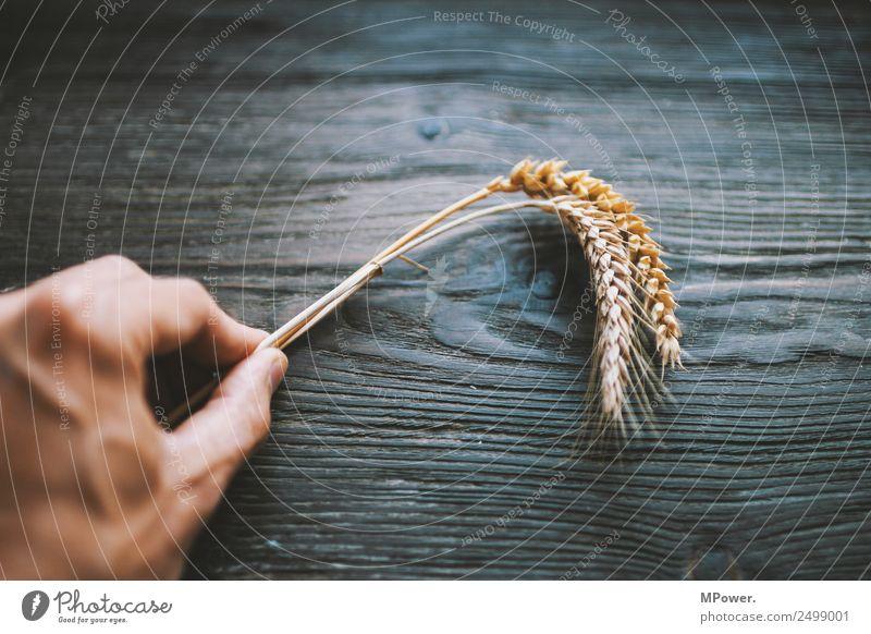 getreidearten Hand festhalten Pflanze orange Rohstoffe & Kraftstoffe Getreide Roggen Weizen Ähren Landwirt Landwirtschaft Ernte Grundstoff Lebensmittel gluten