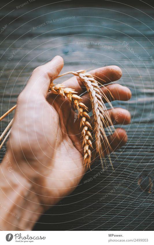 handvoll getreide Hand festhalten Pflanze orange Rohstoffe & Kraftstoffe Getreide Roggen Weizen Ähren Landwirt Landwirtschaft Ernte Grundstoff Lebensmittel