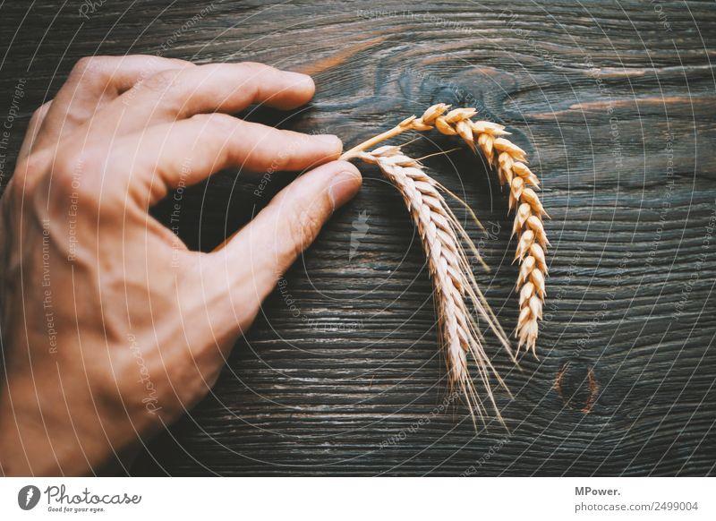 handvoll getreide Pflanze Hand Finger festhalten orange Rohstoffe & Kraftstoffe Getreide Roggen Weizen Ähren Landwirt Landwirtschaft Ernte Grundstoff