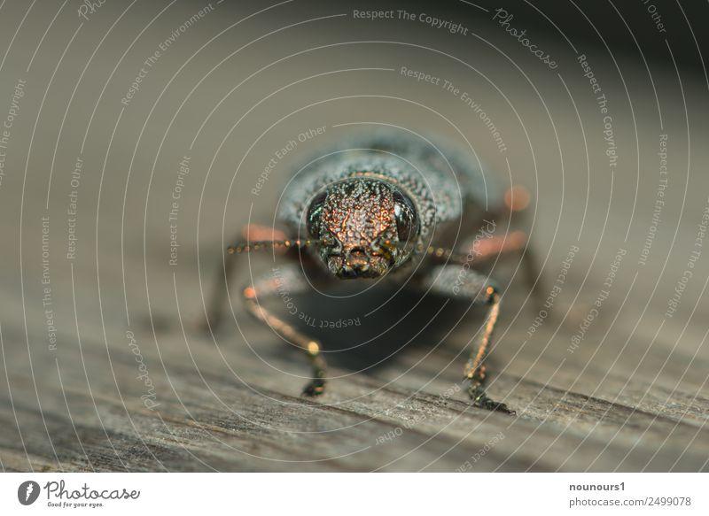 Goldiger Kerl Tier Wildtier Käfer 1 glänzend hocken krabbeln sitzen außergewöhnlich Coolness dick natürlich schön braun gold grau Farbfoto Außenaufnahme Tag