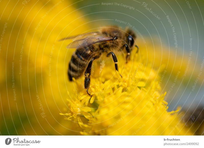 Honigbiene sammelt gelbe Pollen auf Blumen Pflanze Blüte Garten Wiese Biene berühren festhalten fliegen Fressen ansammeln bestäuben Nektar Farbfoto