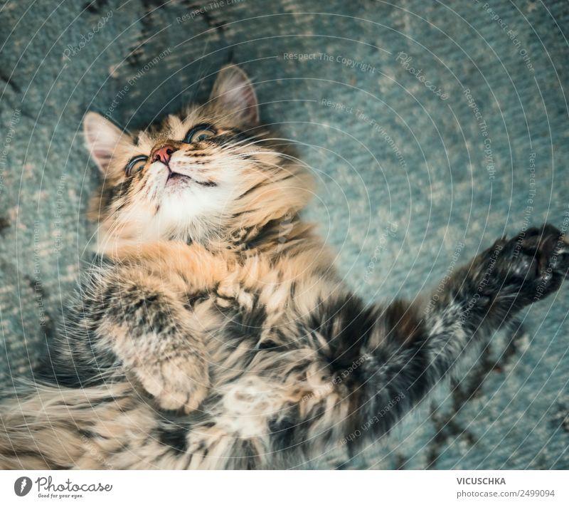 Flauschige Katze liegt gemütlich auf dem Rücken, Ansicht von oben fluffig Lügen Top bezaubernd Tier Tiere Hintergrund schön Decke blau Katzen Kind Komfort