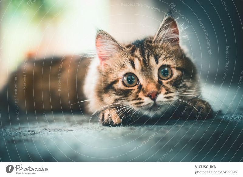 Katze schaut spielerisch in die Kamera Freude Häusliches Leben Tier Haustier 1 Gefühle Design Sibirische Katze Spielen aufgereiht Jagd lustig Farbfoto