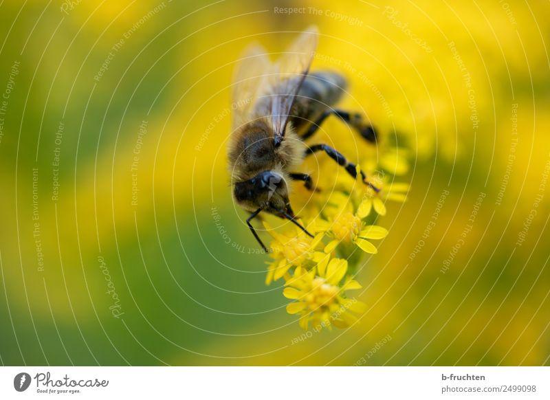 Biene auf gelber Blüte Garten Park gebrauchen berühren Blühend festhalten Honigbiene Pollen Sammlung Sommer Nektar Blütenstempel Stauden Farbfoto Außenaufnahme