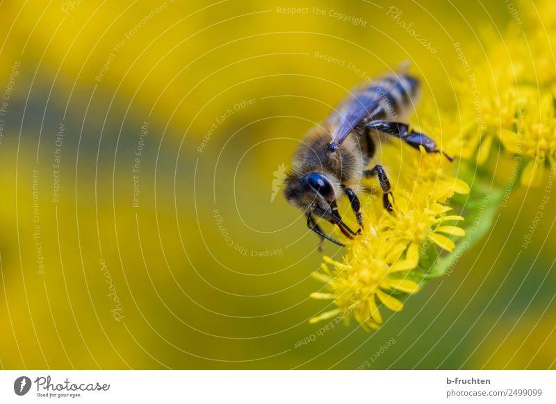Biene auf gelber Blüte Pflanze gebrauchen festhalten fliegen Honigbiene Sammlung Pollen blütennektar Nektar Sommer Farbfoto Außenaufnahme Nahaufnahme