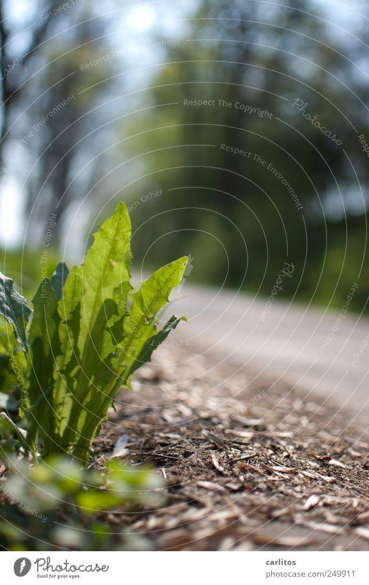 Foto aus natürlicher Bodenhaltung Pflanze Schönes Wetter Wachstum Wege & Pfade Waldweg Löwenzahn Froschperspektive grün Wegrand Unkraut Sommer Farbfoto