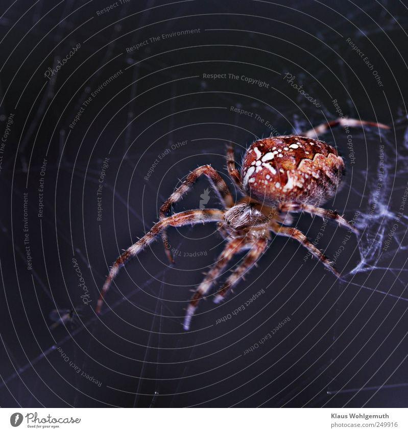 Im Netz der Angst Behaarung Tier Spinne Tiergesicht 1 warten blau rot weiß Spinnennetz Spinnenbeine Spinngewebe Kreuzspinne Muster Insekt Imago Abdomen Auge