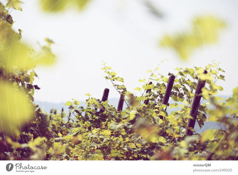 Herbstsegen. Umwelt ästhetisch Ackerbau Weinbau Berghang Weinberg Weintrauben Weinlese grün reif Italien Kultur Farbfoto Gedeckte Farben Außenaufnahme Muster