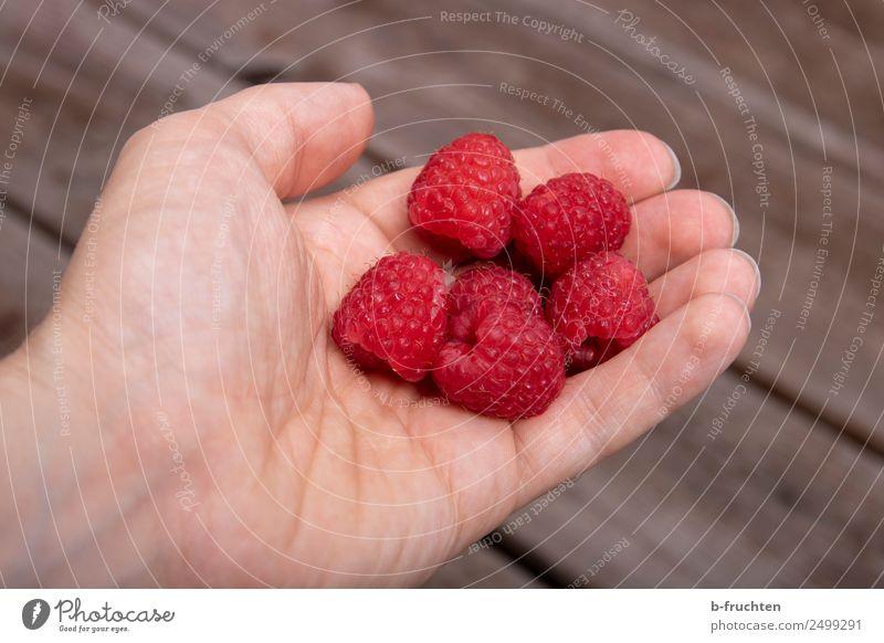 Frische Himbeeren Frucht Bioprodukte Mann Erwachsene Hand Finger Garten Holz wählen festhalten frisch Gesundheit rot Beeren lecker Süßwaren Vitamin Farbfoto