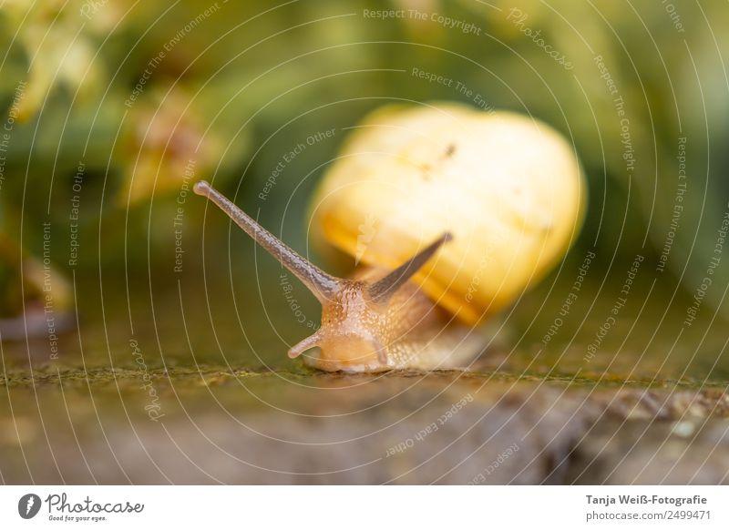 Schneckentempo Natur Tier Nutztier 1 gelb Farbfoto Außenaufnahme Makroaufnahme Textfreiraum unten Tag Tierporträt