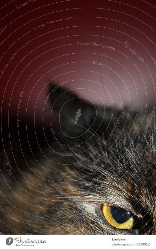 my cat Katze Tier einzigartig Mut Haustier Hauskatze Greifvogel
