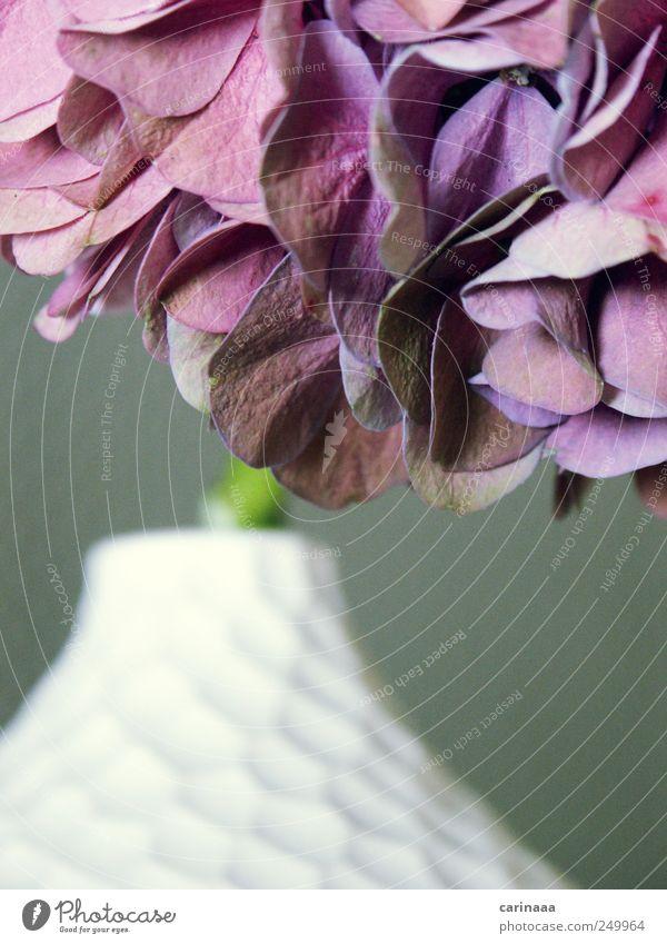 Hortensie Natur weiß grün Pflanze rot Sommer Blume Farbe grau Blüte ästhetisch Dekoration & Verzierung violett nah stagnierend