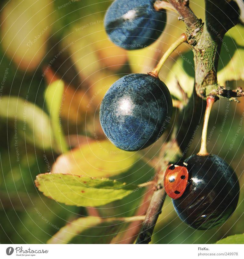 lecker, Schlehen Frucht Bioprodukte Umwelt Natur Pflanze Tier Schönes Wetter Sträucher Wildpflanze Käfer 1 rund saftig blau grün rot Idylle Marienkäfer Beeren