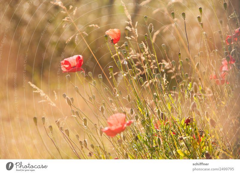 I dont like Mohndays III Umwelt Natur Pflanze Sommer Schönes Wetter Gras Sträucher Wiese Feld Blühend gelb gold rot Mohnblüte Mohnfeld Mohnkapsel Mohnblatt