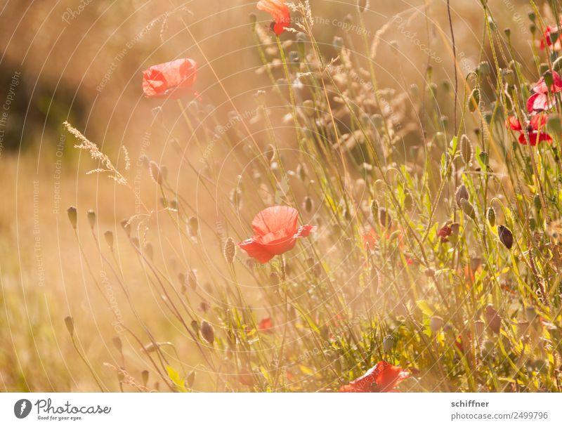 I dont like Mohndays II Umwelt Natur Pflanze Sonnenlicht Sommer Wärme Gras Sträucher Wiese Feld Blühend gelb gold orange rot Wiesenblume Blumenwiese zart
