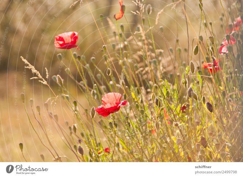 I dont like Mohndays Umwelt Natur Sonnenlicht Sommer Schönes Wetter Pflanze Blume Gras Sträucher Wildpflanze Wiese Feld rot sommerlich Wärme zart Blumenwiese