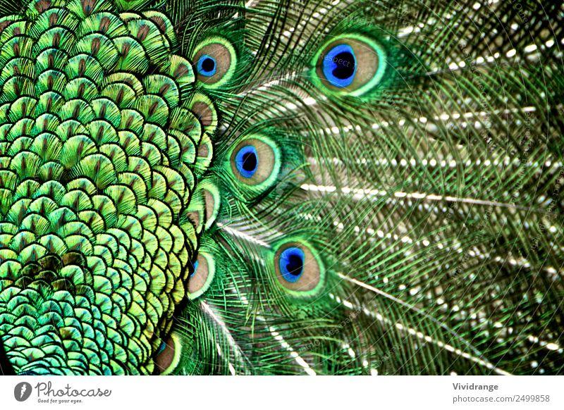 Pfauenschwanzfeder im Detail elegant Design exotisch schön Garten Mann Erwachsene Zoo Natur Tier Haustier Nutztier Wildtier Vogel Flügel Ornament Liebe Tanzen