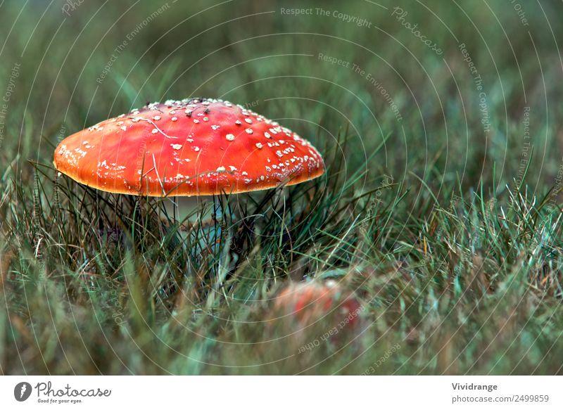Roter Pilz auf dem Feld Duft Ferien & Urlaub & Reisen wandern Garten Umwelt Natur Pflanze Urelemente Erde Frühling Sommer Herbst Gras Wildpflanze Park Wiese