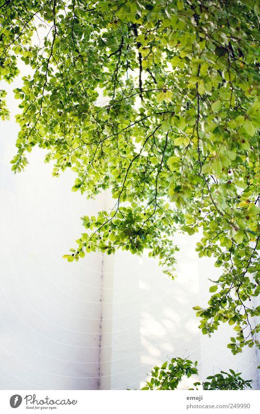 sonnig bis heiter grün Sommer Blatt Wand Mauer natürlich Grünpflanze
