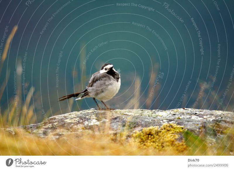 Bachstelze auf Felsen Natur Sonnenlicht Sommer Schönes Wetter Gras Moos Flechten Wiese Berge u. Gebirge Sogndal Norwegen Tier Nutztier Vogel Singvögel 1 Stein