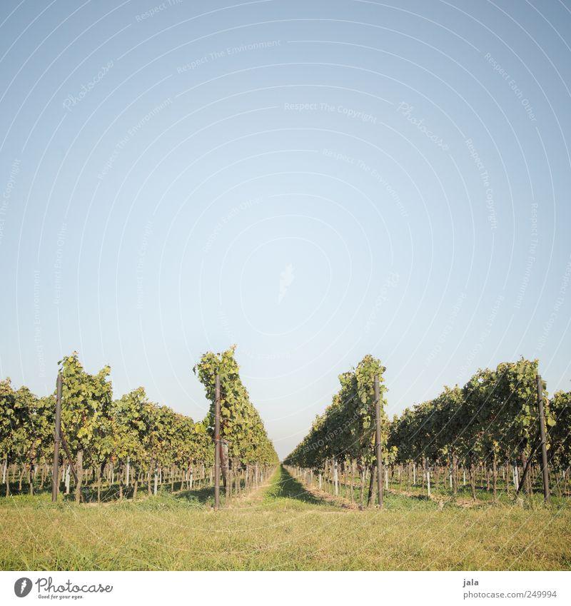 palz Himmel Natur grün blau Pflanze Umwelt Landschaft natürlich Wein Grünpflanze Weinberg Wolkenloser Himmel Nutzpflanze