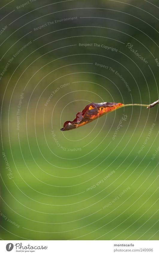 Einfachblatt Umwelt Natur Pflanze Herbst Schönes Wetter Blatt Grünpflanze Park Wiese natürlich braun gold grün Farbfoto mehrfarbig Außenaufnahme Nahaufnahme