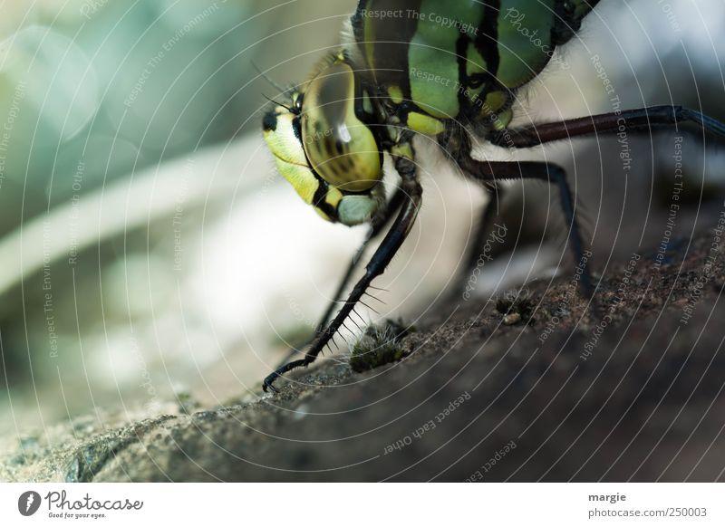 Morgengymnastik einer Libelle am Teich Umwelt Natur Erde Sand Bach Tier Käfer Tiergesicht Krallen Auge Beine 1 fliegen krabbeln Blick tauchen nass stachelig