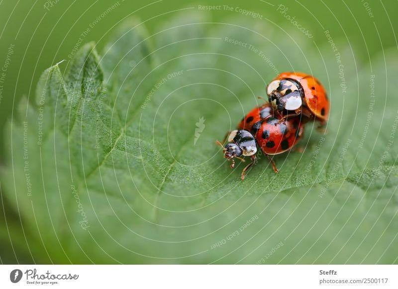 Eine Sommerliebe Umwelt Natur Blatt Garten Park Wald Käfer Marienkäfer Insekt Zwei Tiere 2 Tierpaar frei Glück natürlich grün rot Lebensfreude Tierliebe