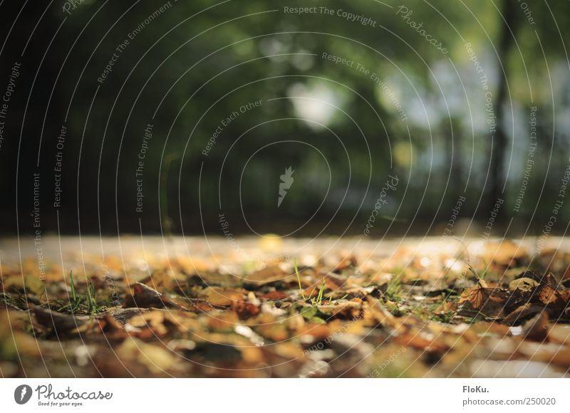 Es kommt der Herbst Umwelt Natur Pflanze Erde Sonnenlicht Schönes Wetter Gras Blatt Park Menschenleer Platz braun gold grün Herbstlaub Herbstbeginn herbstlich