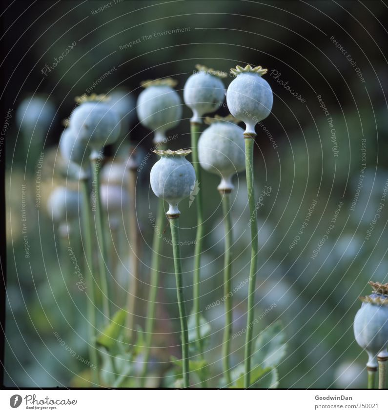 Hyde Park. Umwelt Natur Wetter Schönes Wetter Pflanze Blume Mohnkapsel Garten dünn authentisch einfach kalt viele Farbfoto Außenaufnahme Menschenleer Tag Licht