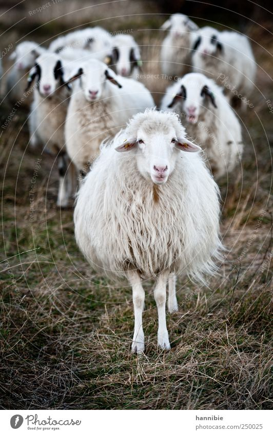 entourage weiß grün schwarz Wiese Gras Feld warten stehen Weide Schaf Moos Fressen Herde Nutztier provokant herausfordernd