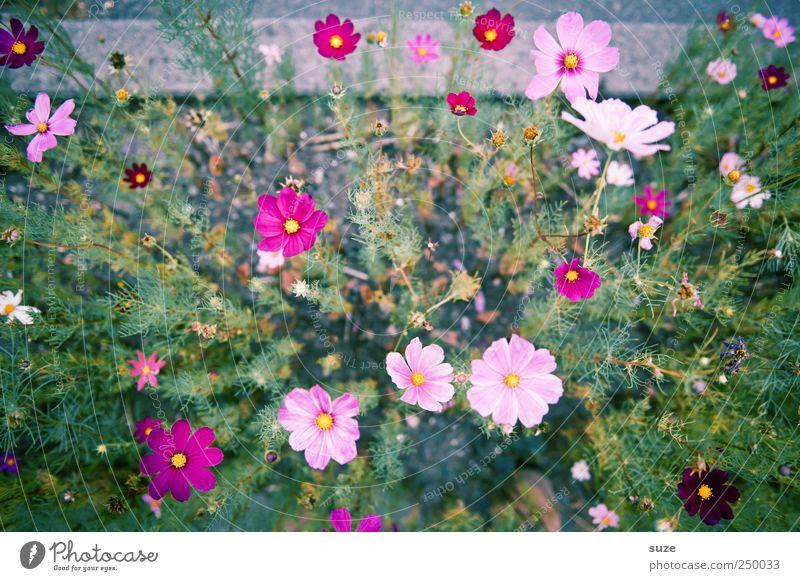 Blumengruß Natur grün schön Pflanze Sommer Blume Blüte rosa hoch Wachstum natürlich zart viele Freundlichkeit Blühend Stengel